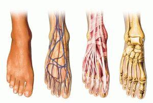 Функциональная анатомия стопы