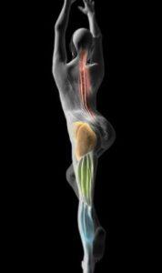 мышечно-фасциальная цепь